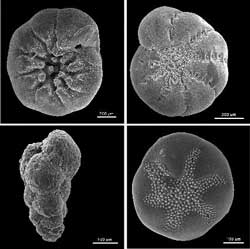 Humans have been warming the climate for nearly 200 years, scientists say Foraminifera